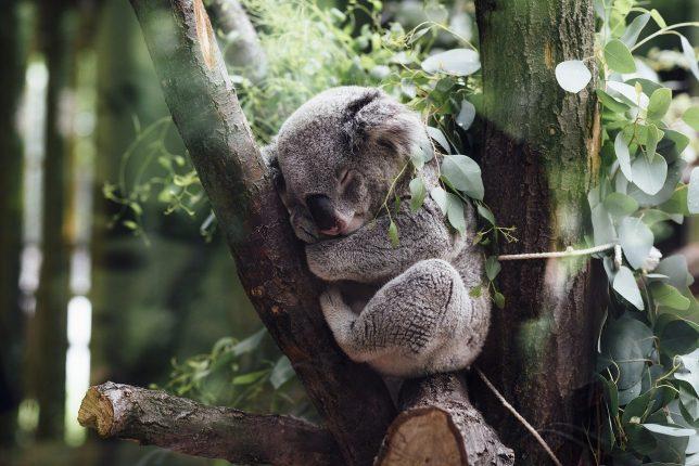 Koala-Animales de Australia